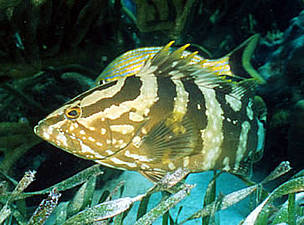 Nassau grouper (&lt;i&gt;Epinephelus striatus&lt;/i&gt;), Hol Chan Marine Reserve, Belize. / &copy;: WWF-Canon / Anthony B. RATH
