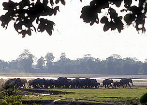 A herd leaves the Tarajulie Tea Estate, where they had taken up residence for several days, after ... / &copy;: WWF-Canon / Jan Vertefeuille