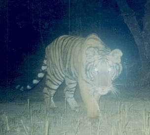 Tiger caught on camera / ©: WWF Nepal