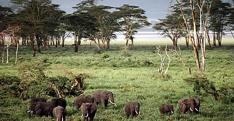 African elephant (&lt;i&gt;Loxodonta africana&lt;/i&gt;) herd grazing, Ngorongoro Crater, Lorai ... rel=