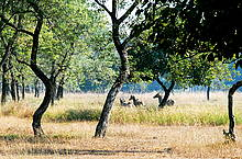 Blue Bulls (Nilgai) are among the endangered wildlife species in the region.