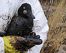 Thousands of birds have been affected by the oil spill off the coast of Estonia.