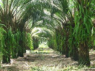 Plantaciones de palma de aceite cubren el suelo para prevenir erosión y controlar malezas. / ©: WWF CARO