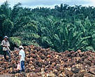 Harvesting palm oil fruits.