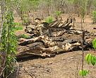 Old elephant carcass, Mozambique.