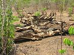 Old elephant carcass, Mozambique. © WWF-Mozambique