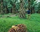 Oil palm plantation, Sumatra, Indonesia.&lt;BR&gt;