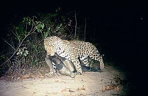 Giant anteater hunted by a jaguar in the Grande Serto Veredas National Park / &copy;: Biotrpicos Institute