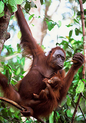 Mother &amp; baby Orang-utan (&lt;i&gt;Pongo pygmaeus&lt;/i&gt;), Nyaru Menteng, Central ... / &copy;: WWF-Canon / Alain COMPOST