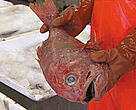 Many deep sea species, such as the orange roughy, are being threatened by overfishing in EU waters.