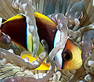 Orangefin anemonefish (&lt;i&gt;Amphiprion chrysopterus&lt;/i&gt;). Juvenile anemonefish often dive ... / &copy;: WWF-Canon / Cat HOLLOWAY