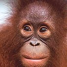 Portrait of a young Orang-utan (&lt;i&gt;Pongo pygmaeus&lt;/i&gt;). / &copy;: WWF-Canon / Alain COMPOST