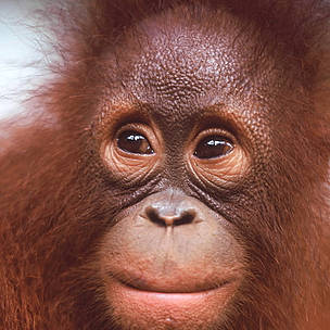 Portrait of a young Orang-utan (<i>Pongo pygmaeus</i>).