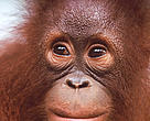 Portrait of a young Orang-utan (&lt;i&gt;Pongo pygmaeus&lt;/i&gt;).