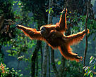Sumatran orang utan (Pongo abelii) female 'Suma' swinging through the trees with male baby 'Forester' (part of baby snatching story) Gunung Leuser NP, Sumatra, Indonesia