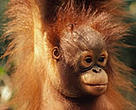 Borneo orang-utan (&lt;I&gt;Pongo pygmaeus&lt;/I&gt;).