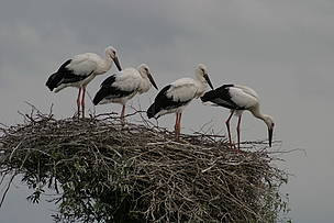 Oriental white stork in Amur-Heilong / &copy;: WWF Russia / Alexandr Klimenko