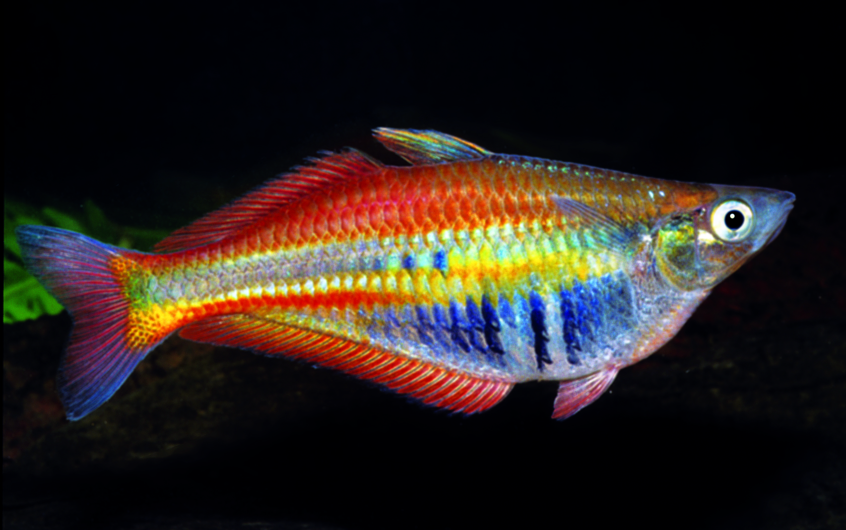 Wwf more than 1000 new species found in new guinea for Rainbow fish pictures