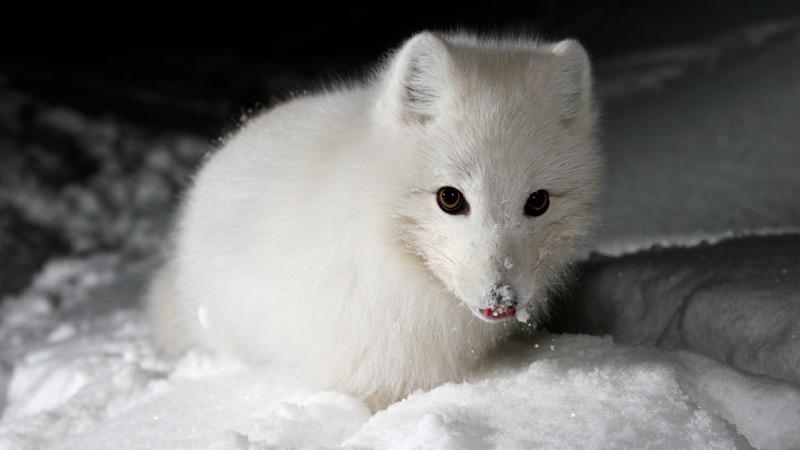 WWF -Arctic fox