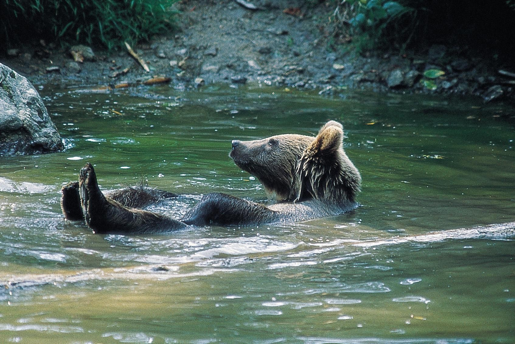 Bears are taking a dip in the pool to cool down in the heat wave 20something for Bears in swimming pool new jersey