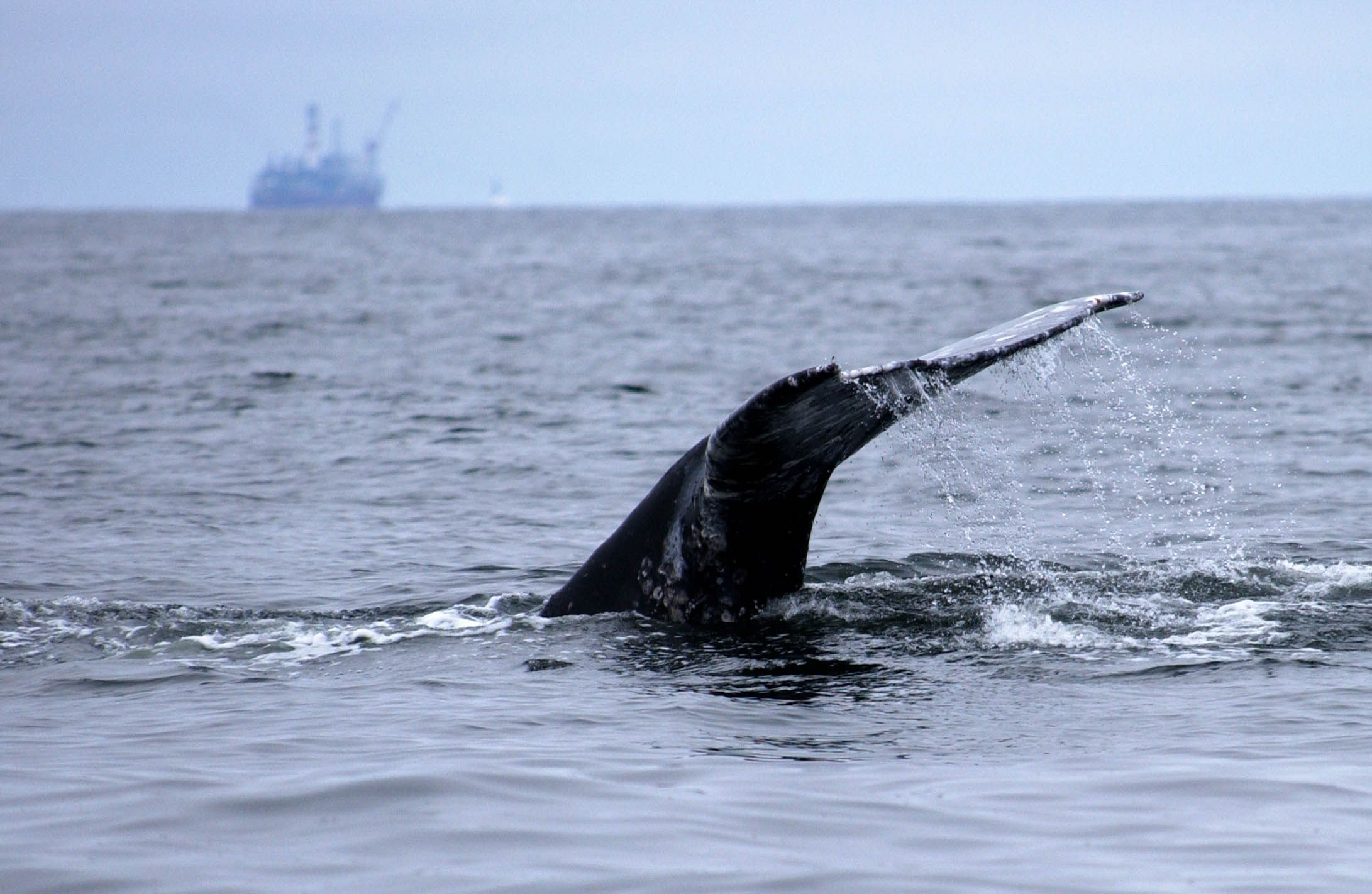 WWF - Oil platform must be halted to save critically ...