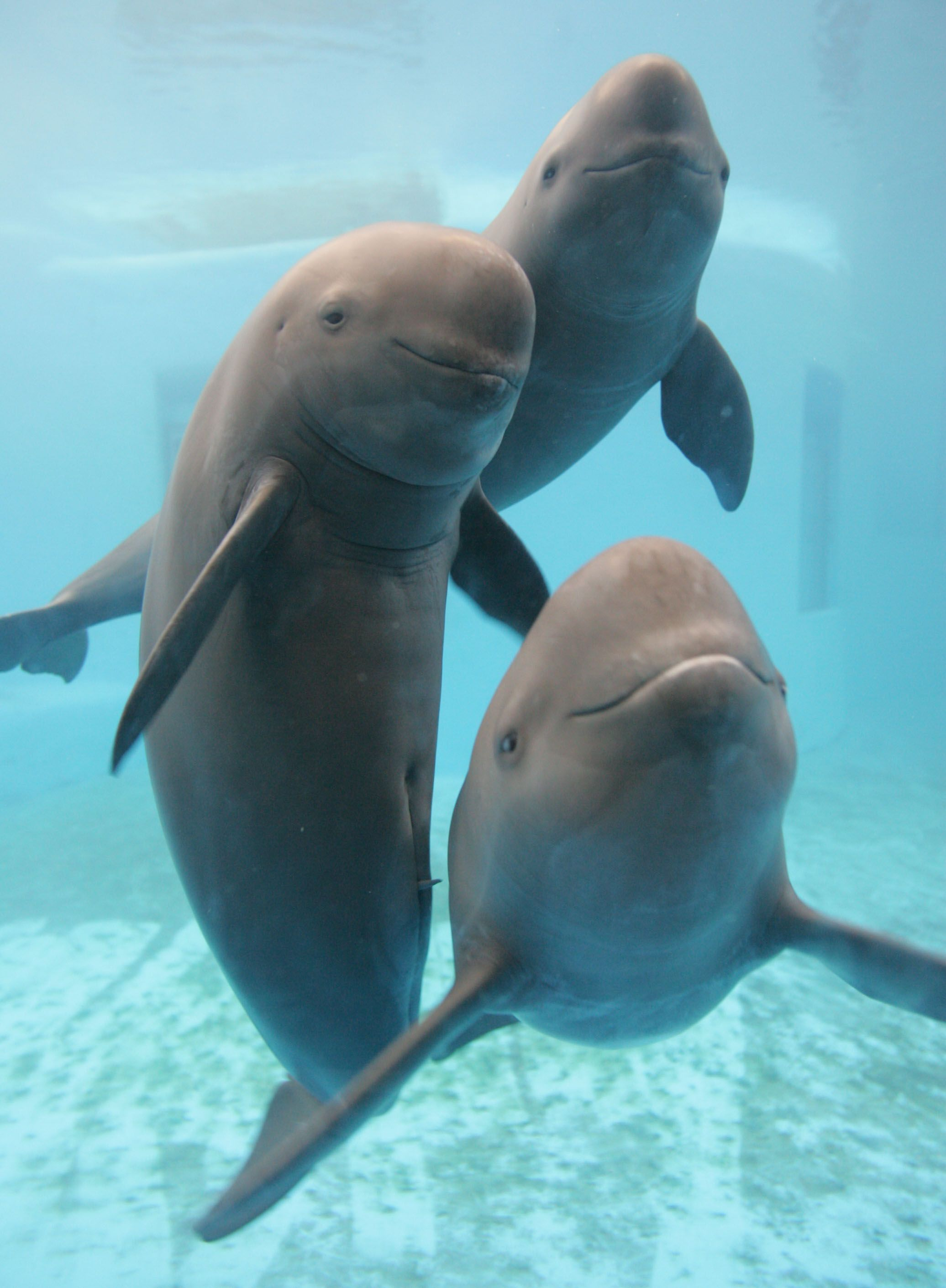 Yangtze finless porpoise population nosedives to 1,000 ...