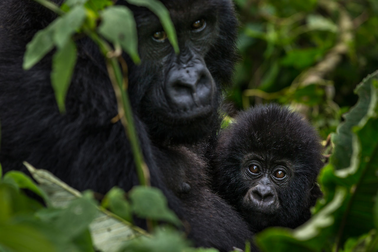 dian fossey essay Gorillas in the mist summary dian fossey wants to travel to africa so desperately that she takes out a personal loan in order to finance a seven-week trip.