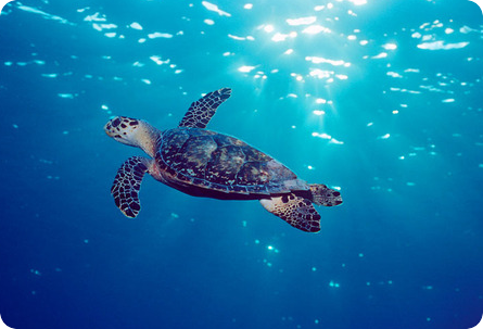 Marine turtles and climate change: the ACT project | WWF