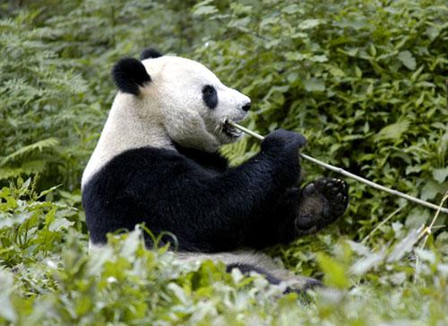 Giant Panda eating bamboo shoot, Panda Breeding Centre, Wolong Panda Reserve, Sichuan Province, China.