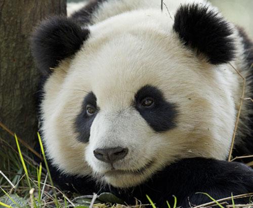 Giant Panda resting in Bifengxia, China.