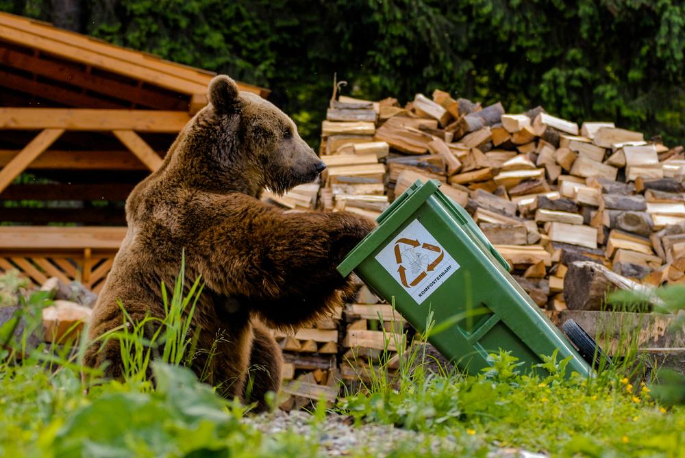 Medveď hľadajúci potravu v kontajneri