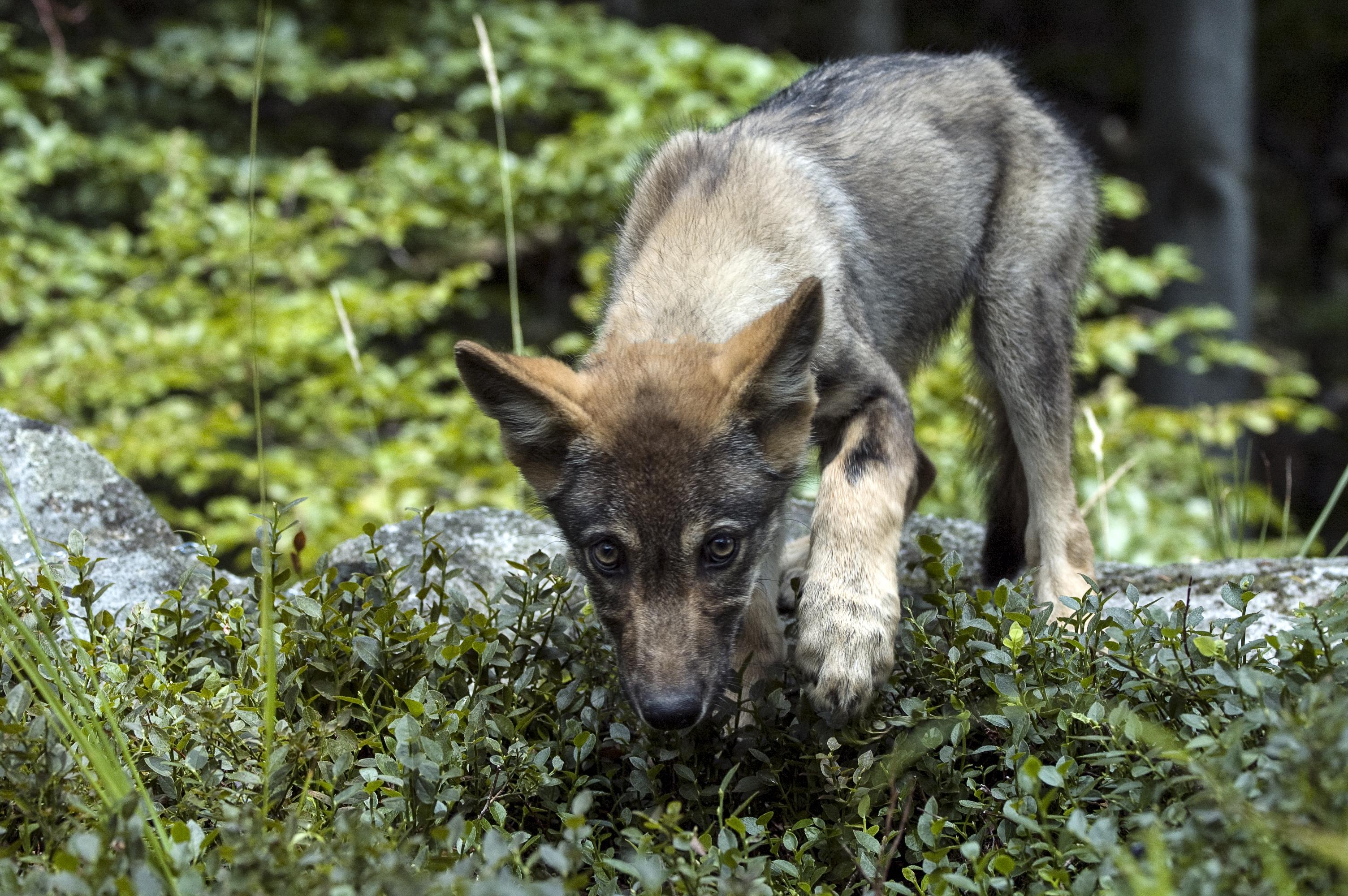 Vlk dravý v karpatských lesoch