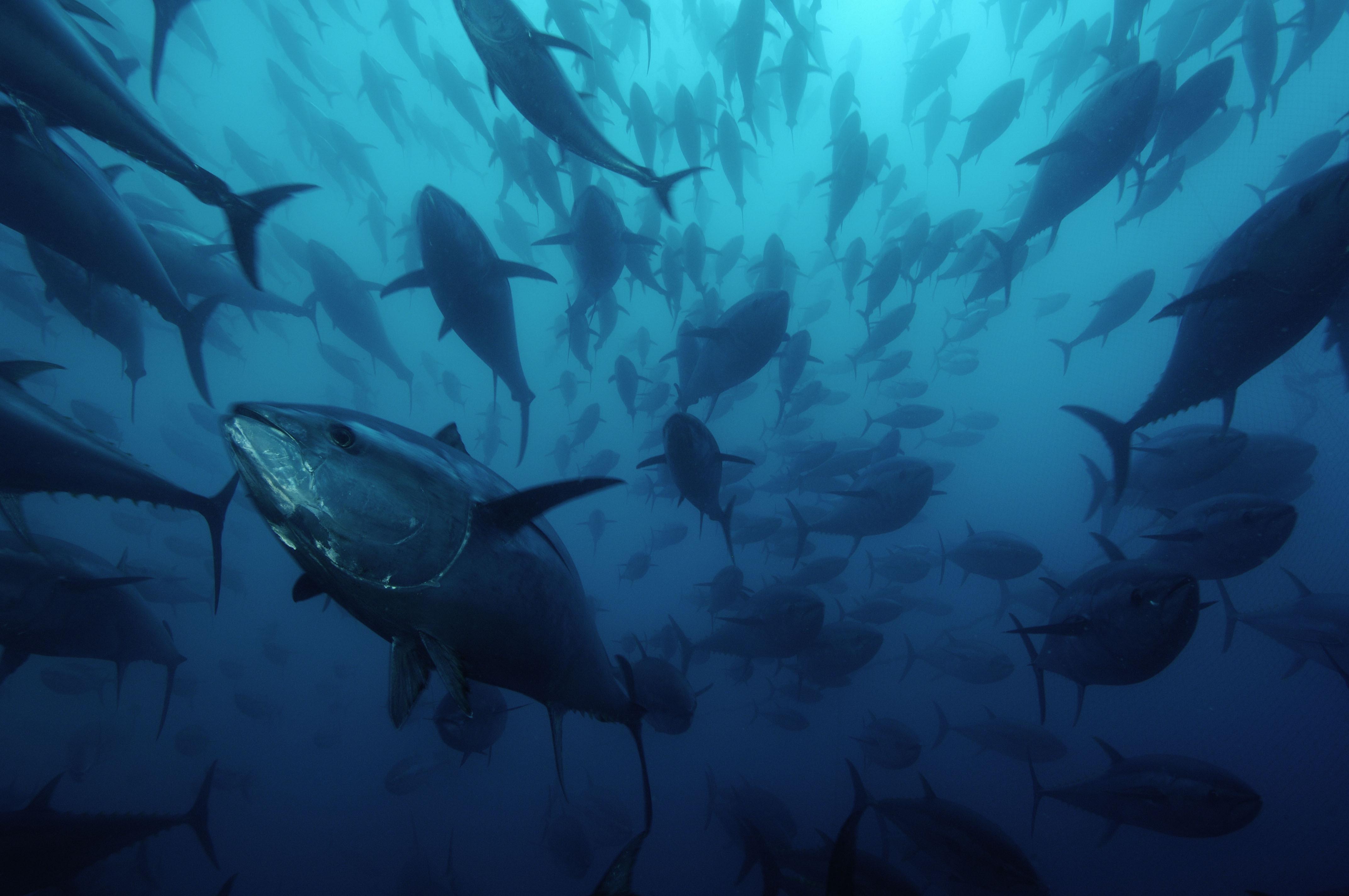 Resultado de imagen de pesca intensiva de atun