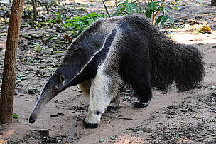Anteater / &copy;: Fernando Allen / WWF Paraguay