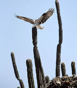 An osprey (Pandion haliaetus) lands on a cactus next to its nest on Tiburn Island, Sonora, Gulf of ... / &copy;: Edward Parker / WWF-Canon