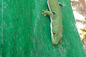 Gecko at Ranomafana national park