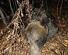 Bear WWF11621 monitored under WWF Romania project, victim to poaching.
