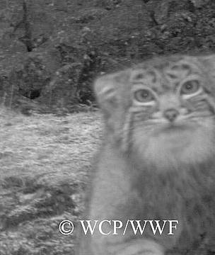 Pallas' Cat sighted in WCP