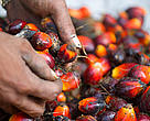 Harvesting oil palm, Musim Mas palm oil plantation, Sumatra, Indonesia
