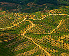 Aerial view of palm oil plantation on deforested land, Sabah, Borneo, Malaysia.