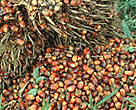 Palm oil (Sawi palm) plantation, harvest. Lampung, Sumatra, Indonesia