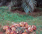 First harvest palm oil in Sembuluh, Central Kalimantan (Indonesian Borneo), Indonesia