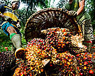 Collection of palm oil fruit