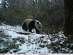 Giant panda captured in Wang Lang, Sichuan, China... <a href=