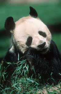 WWF - Panda's natural enemies and defences