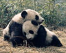 Ailuropoda melanoleuca. Two giant pandas DA DI and JIA LIN play together at the Wolong Research &amp; Breeding Centre