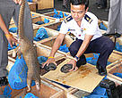 Thai authorities confiscate an illegal shipment of 245 pangolins and 64 freshwater turtles at Bangkok's Don Muang Airport.