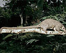 Long-tailed pangolin (&lt;I&gt;Manis tetradactyla&lt;/I&gt;).
