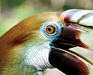 Papuan Hornbill