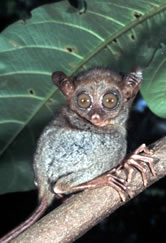 Tarsius syrichta Philippine tarsier One of the smallest primates, this sub-species is endemic to ... / &copy;: WWF-Canon / Jrgen FREUND 